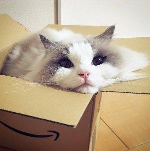喂,你家缺猫吗?在美国养布偶猫你需要知道的一切